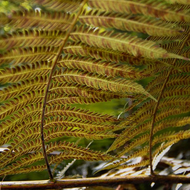 Alsophila Spinulosa